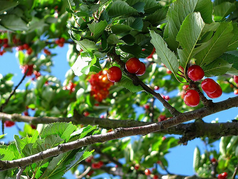 37 Common Plants That Are Poisonous To Dogs Growing Fruit Trees Espalier Fruit Trees Cherry Fruit Tree