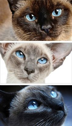 Types Of Siamese Cats With Images Cat Breeds Siamese Cats