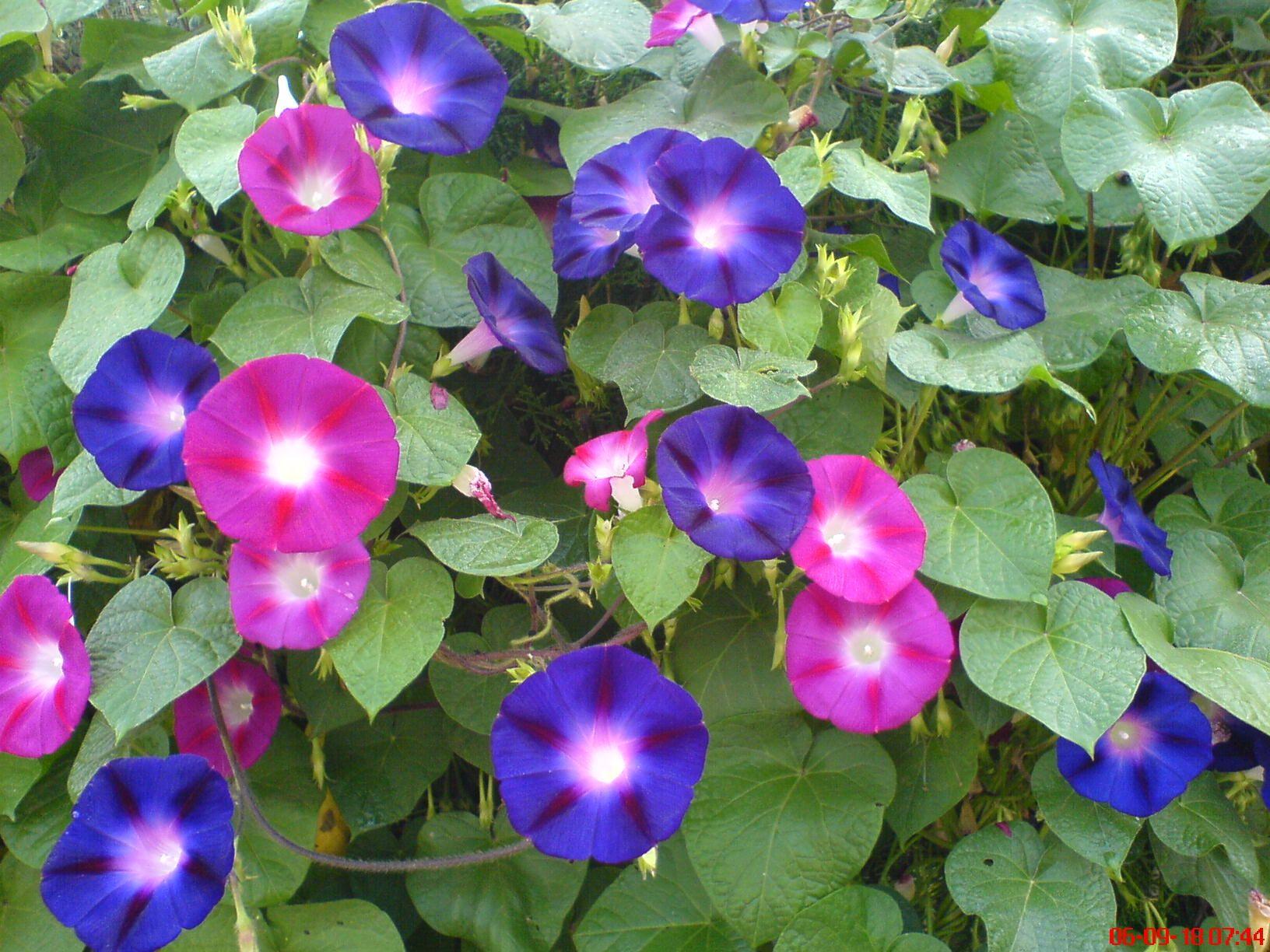 夏の花あさがお