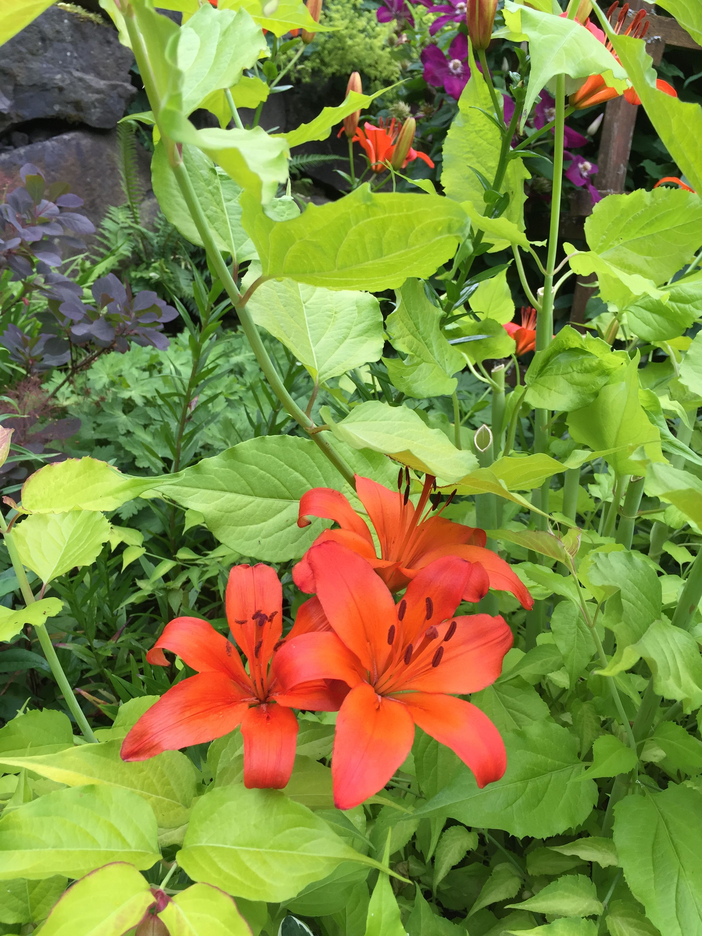 Bright orange lily with himalayan honeysuckle they each