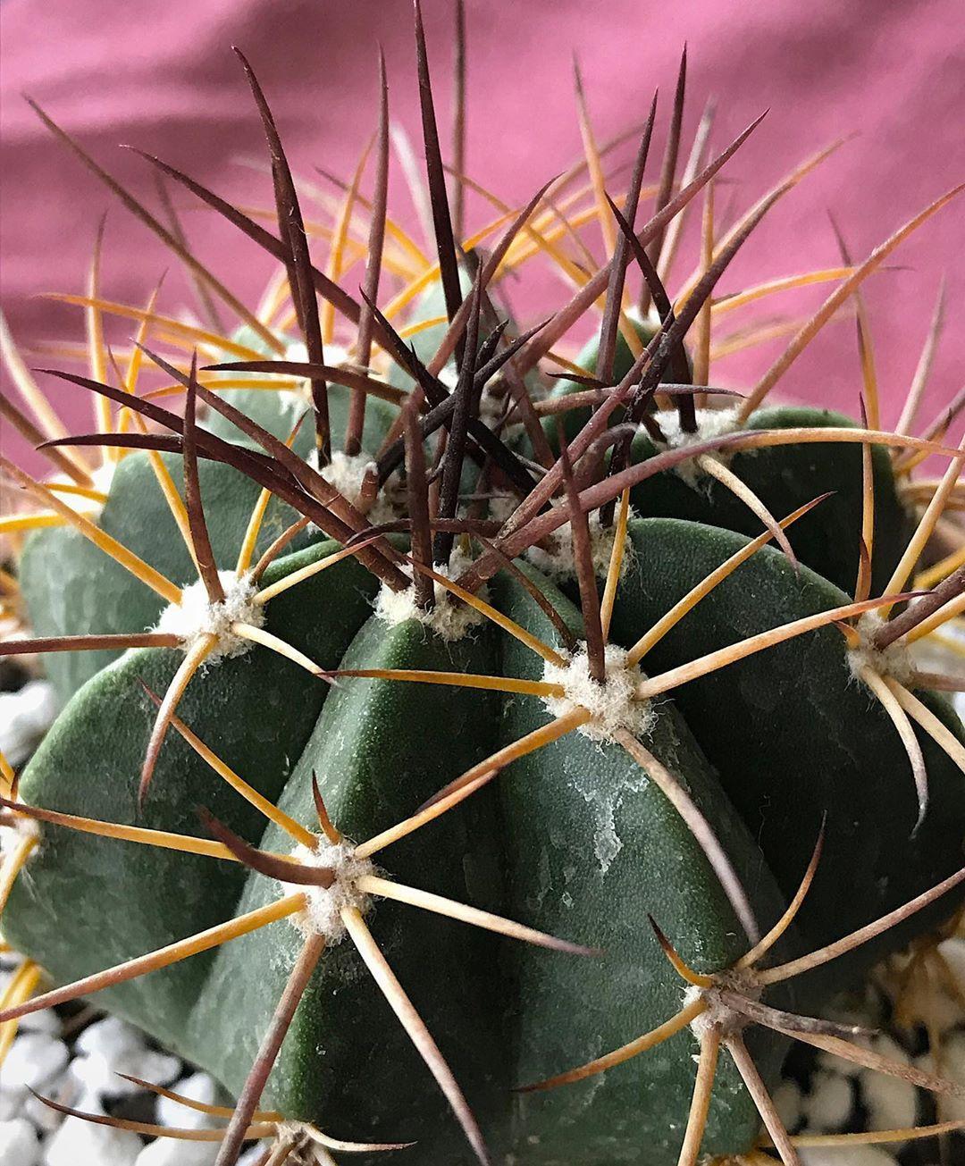 ferocactus  glaucescens X 20 mammillaria,astrophytum we