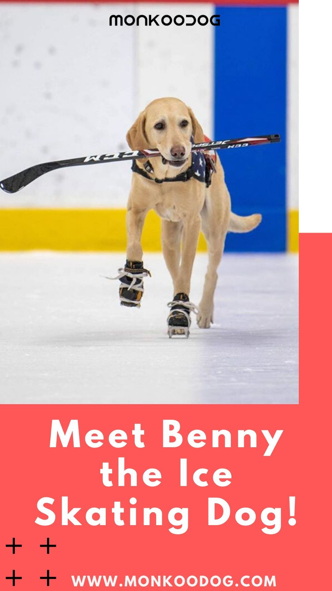Meet Benny The Ice Skating Dog In 2020 Rescue Dogs Dog Facts Famous Dogs