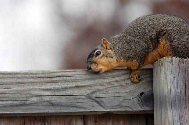 Fight Off Pesky Spring Squirrels With Scoot Squirrel Repellent Get Rid Of Squirrels Squirrel Wildlife