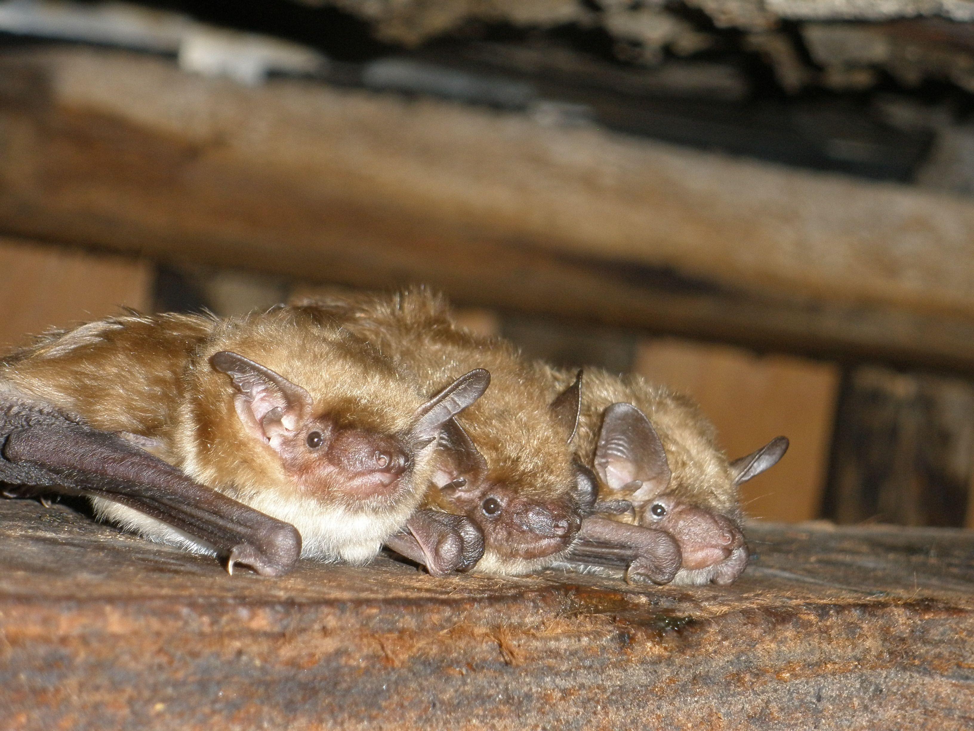 Http Www Gardenstatewildlifecontrol Com Images Sussex County Bats In Attic Jpg Bats In Attic Bat Service Animal