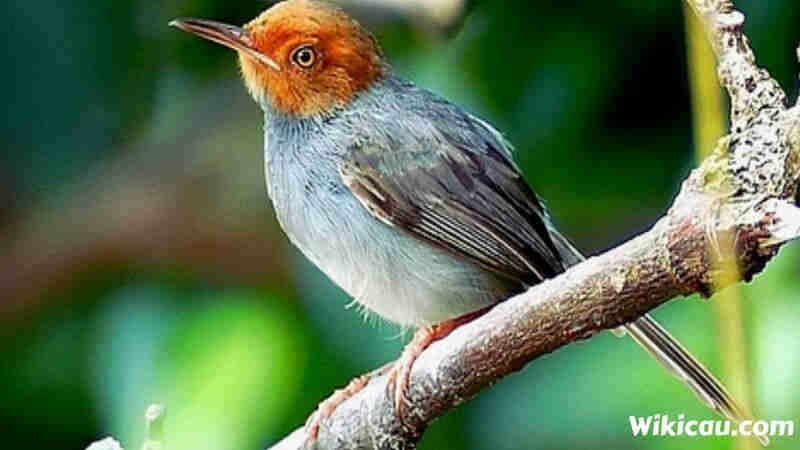Cara Gambar Burung Yang Bagus 11 Jenis Burung Prenjak Yang Bagus Untuk Di Pelihara Gambar 15 Cara Mudah Menggambar Hewan Gambar Burung Burung Cara Menggambar