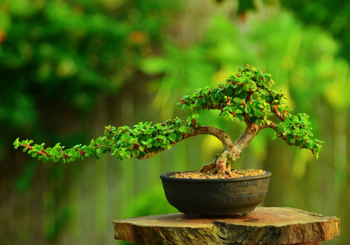 Portulacaria Afra Dwarf Jade Bonsai Tree By Gilbert Cantu With Tanaman Bibi Red Eropa Cherry Fruit Little