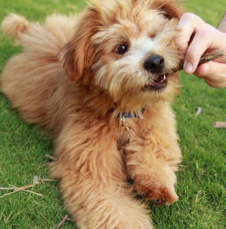 Kepler The Poodle Mix With Images Poodle Mix Cute Creatures Cute Dogs