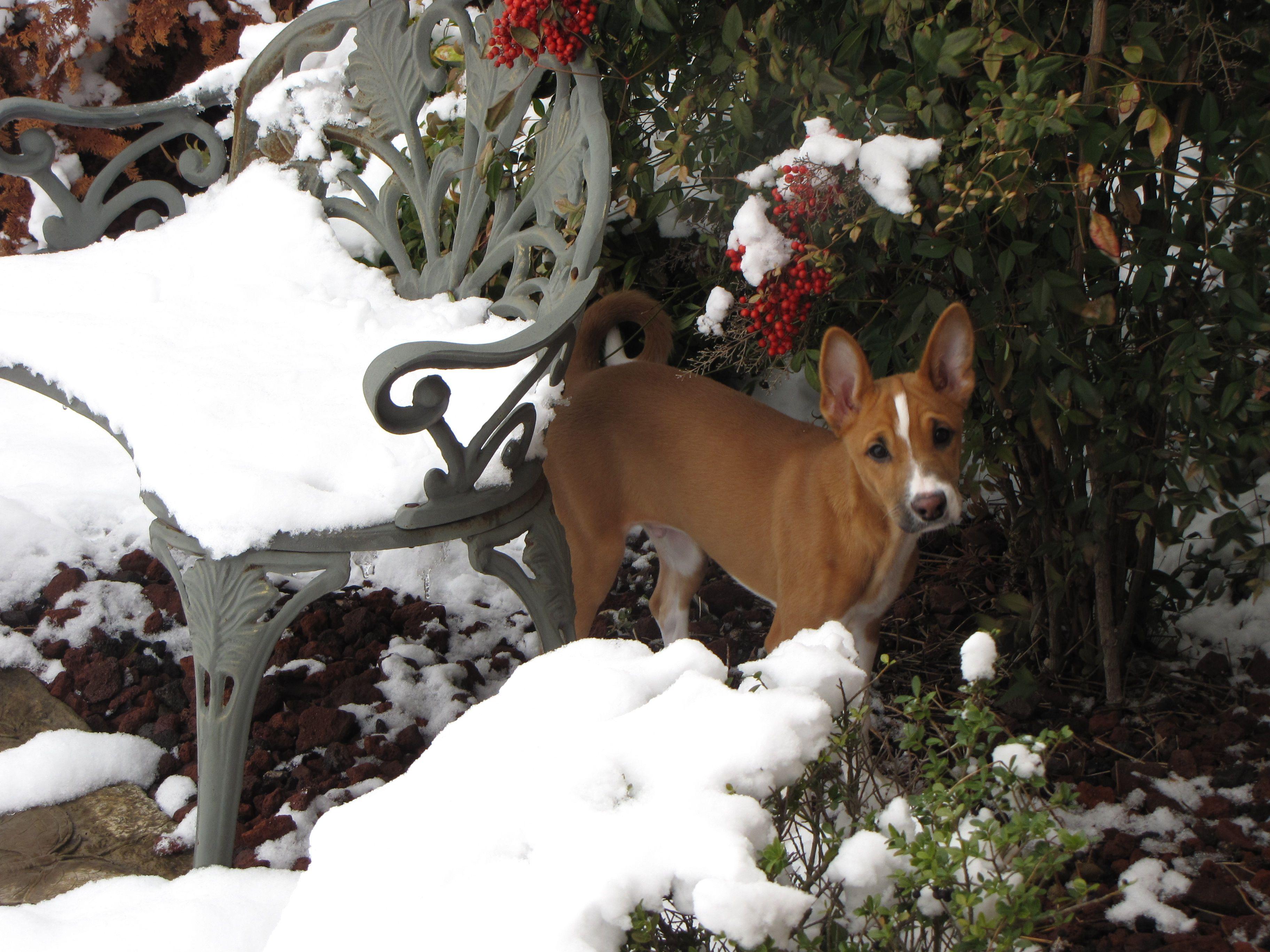 Basenji (With images) Dog dental care, Dog food online