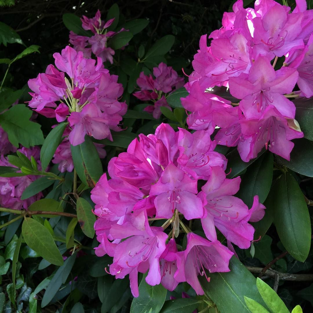 Our Rhododendrons Are Going Nuts This Year So Beautiful Flowers