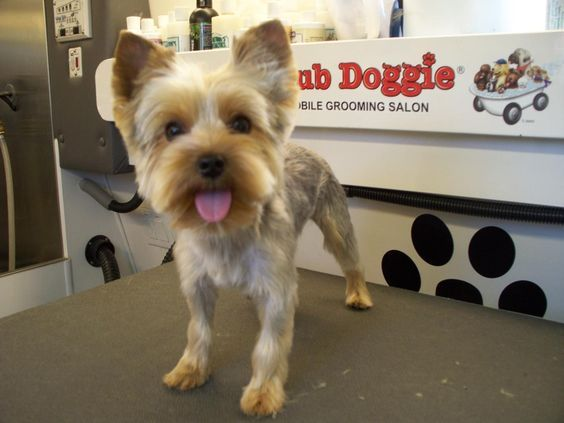 Short Yorkie Haircuts Pictures Only Short Get Free Printable