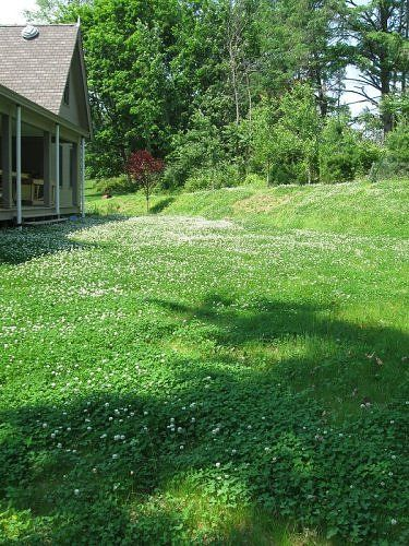 Clover Lawns Beautiful And Dog Urine Resistant Clover Lawn Lawn Alternatives Backyard Landscaping