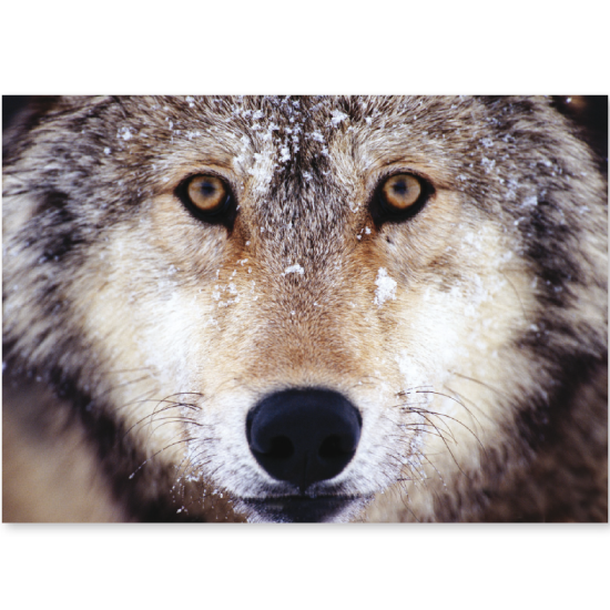 Magnificent Wolf Card Pack 4 99 Greeting With Best Wishes For Christmas And The New Year Wolf Photos Wolf Love World Animal Protection