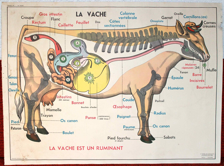 French Cow Anatomy | Anatomy | Pinterest | Anatomy, Cow and ...