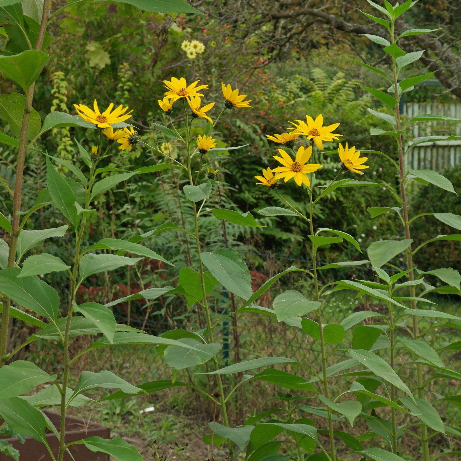 Helianthus Tuberosus Pflanzen Pflanzenbestimmung Erdbirne