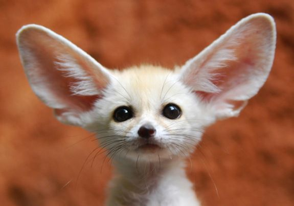 if they werent nocturnal little guys, i d SO have a fennec fox