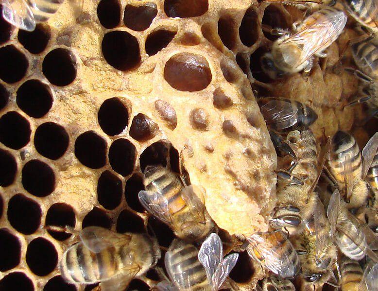 43b523695797fcdf7bb8a72d92cd490f - How To Get Rid Of Small Hive Beetle Larvae