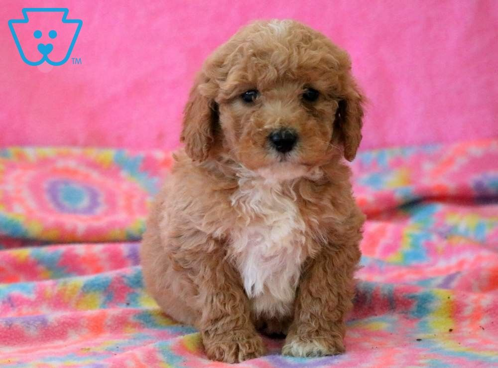 Dandy Puppies Miniature Puppies Goldendoodle Miniature