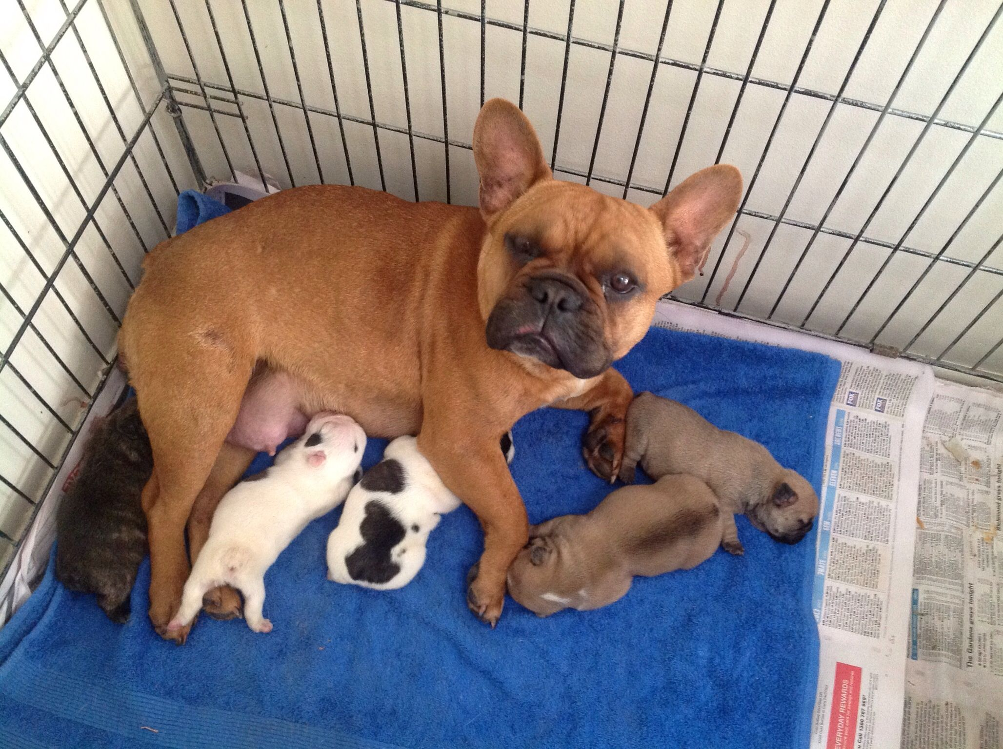 French bulldog mum with her puppies french bulldog