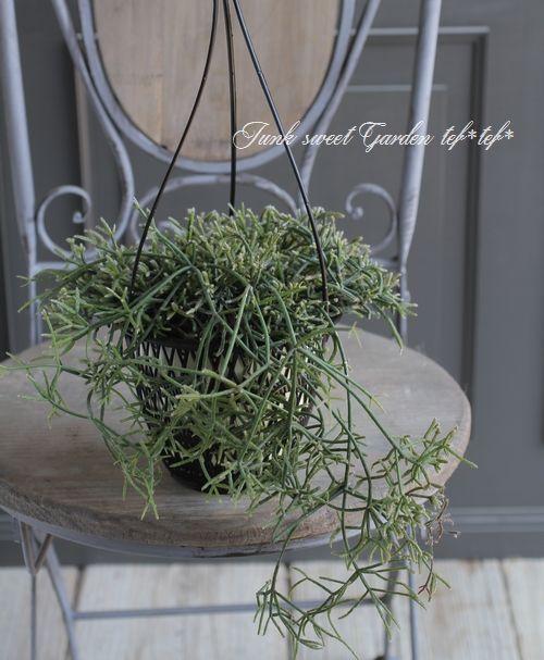 リプサリス ピロカルパ Junk Sweet Garden Tef Tef サボテン 園芸 観葉植物