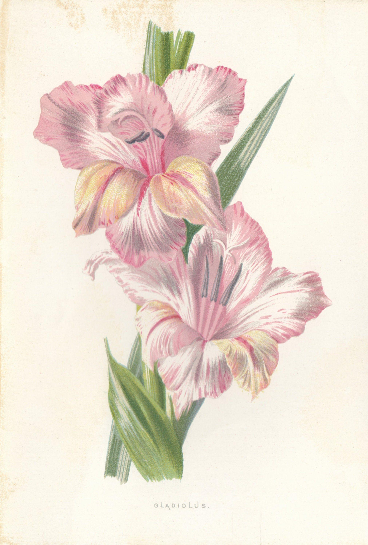 Gladiolus Flower Antique Lithograph Flower Art Print 1898 Etsy Flower Prints Art Flower Art Gladiolus Flower