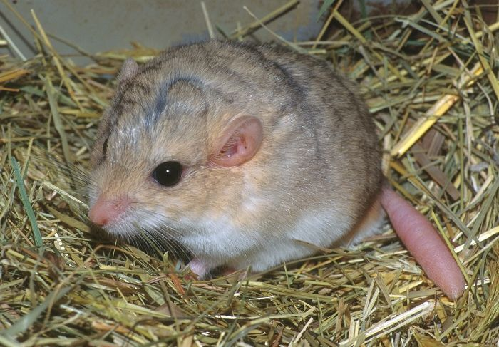 fat tailed gerbil