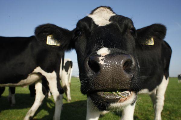 Alle koeien in de wei