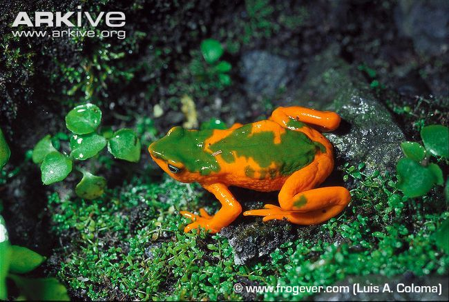 Onore's harlequin frog (Atelopus onorei) #frog #amphibian #nature #endangered