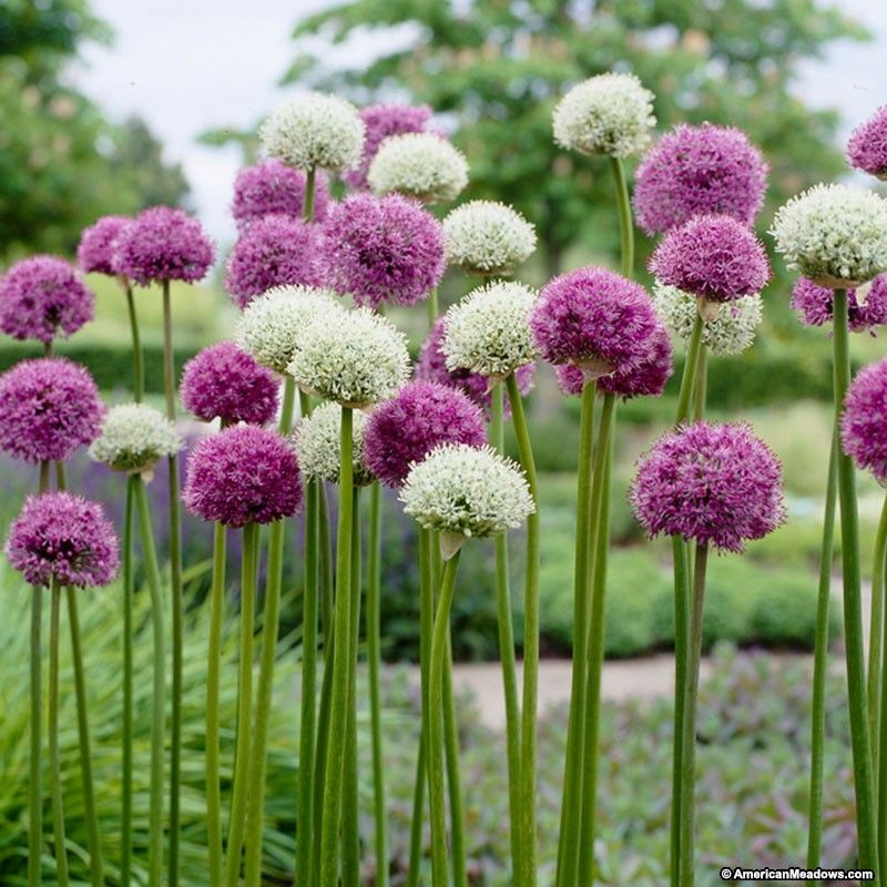 A Stunning Blend Of Purple And White Globe Shaped Alliums Blooming At 2 To 3 Feet Tall The Wild About Allium Mi Allium Flowers Bulb Flowers White Flower Farm