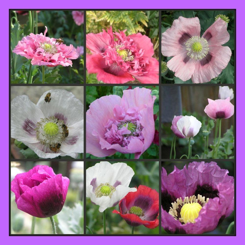 Details about Bulk Super Mega Mix Poppy Flower Seeds 1000