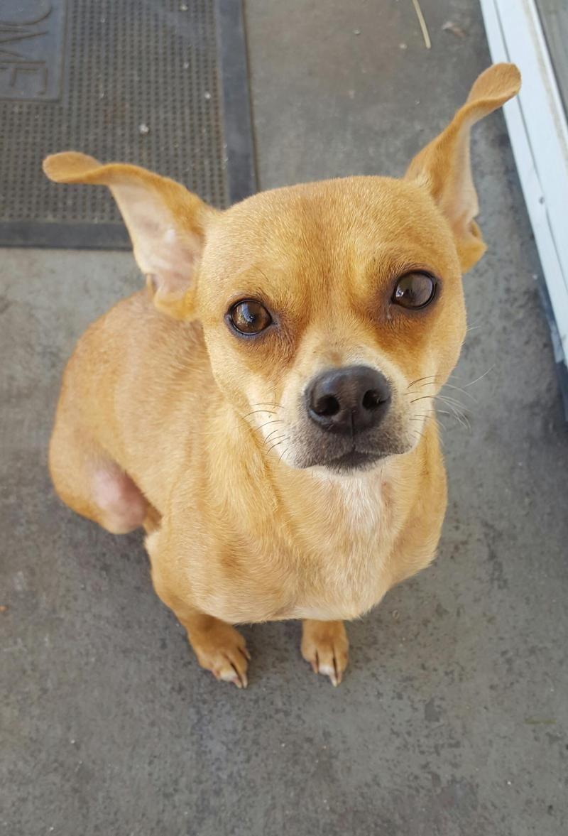 Adopt Babygirl On Fur Babies Pets Chihuahua