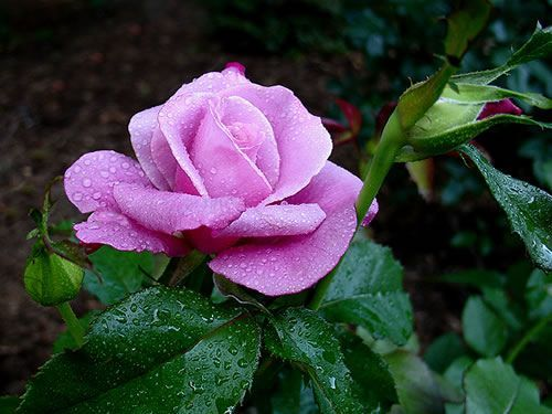 pinnable downloadable rose images essential oils and recipes