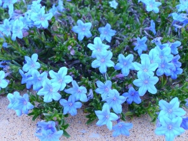 Lithodora Is An Evergreen Perennial With Tiny Blue Flowers That Are