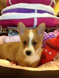 Welsh Corgi Puppy For Sale Very Playful Loves Other Dogs Great