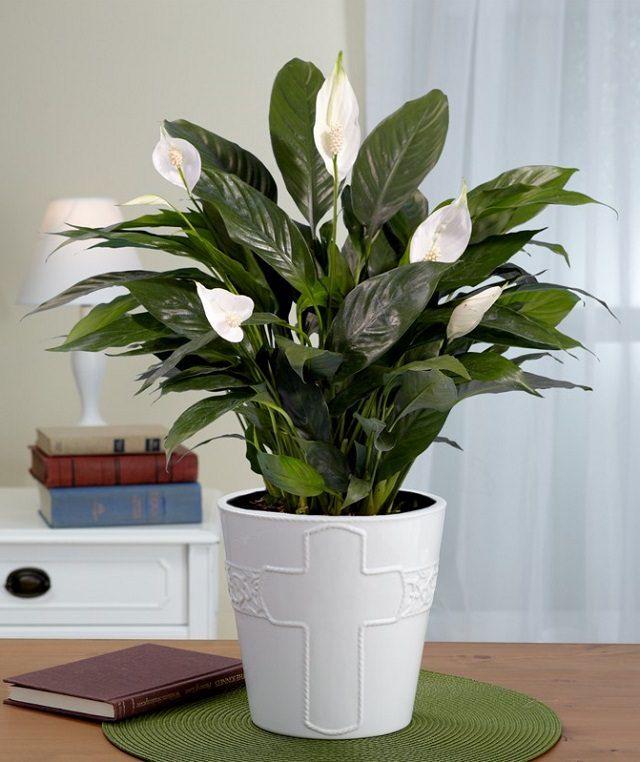 Schöne Zimmerpflanzen 2018 Plants Peace Lily Und Indoor Plants