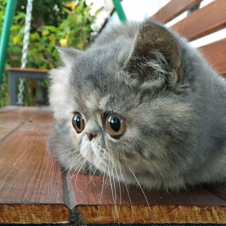 Persian Cat Ring