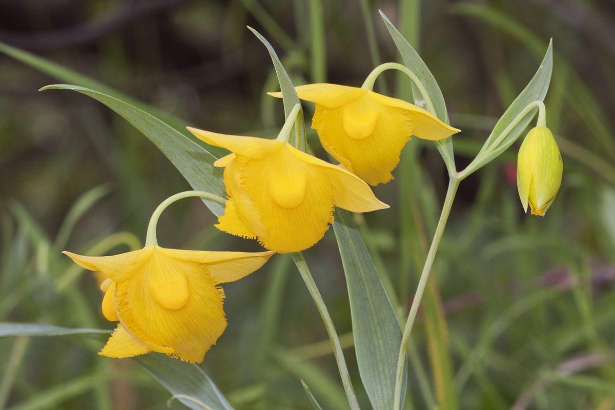 Calochortus amabilis - Flickr 003 - Mormonentulpen – Wikipedia