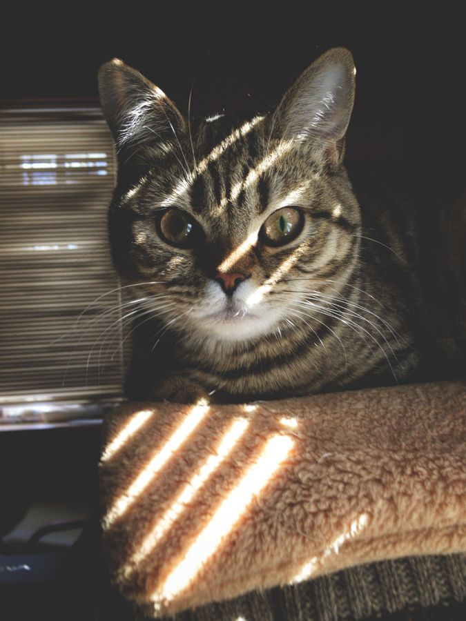 American Wirehair American wirehair, Cat breeds, Cats