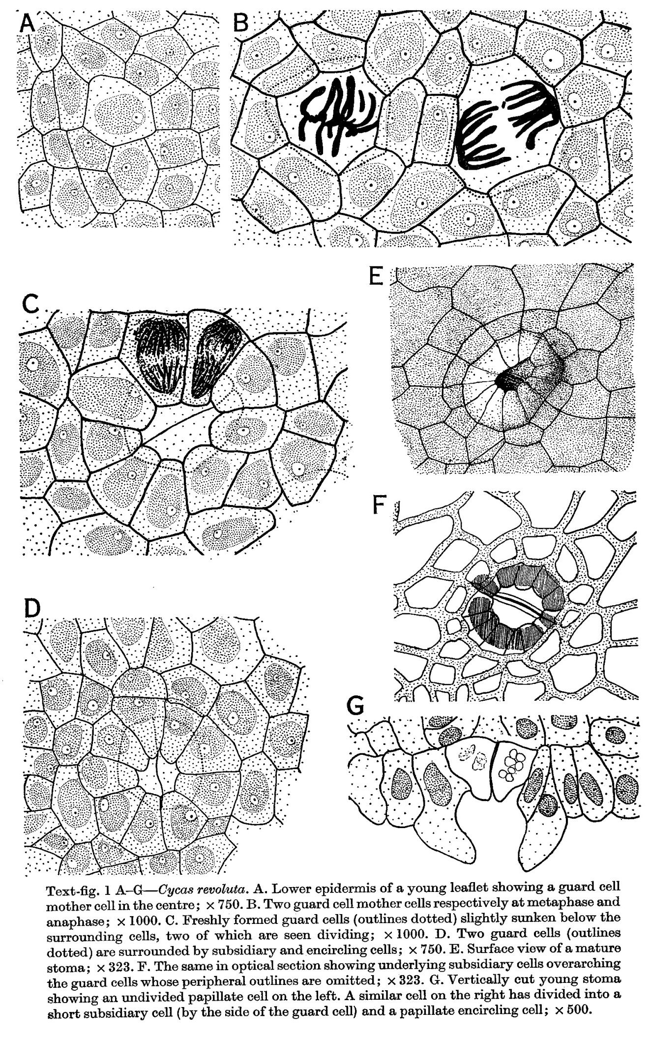 Stomata in Cycas and Ginkgo | Root, stem & leaf | Pinterest ...