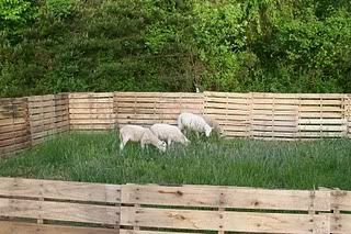 Fence Made From Pallets Holds In Goats And Pigs