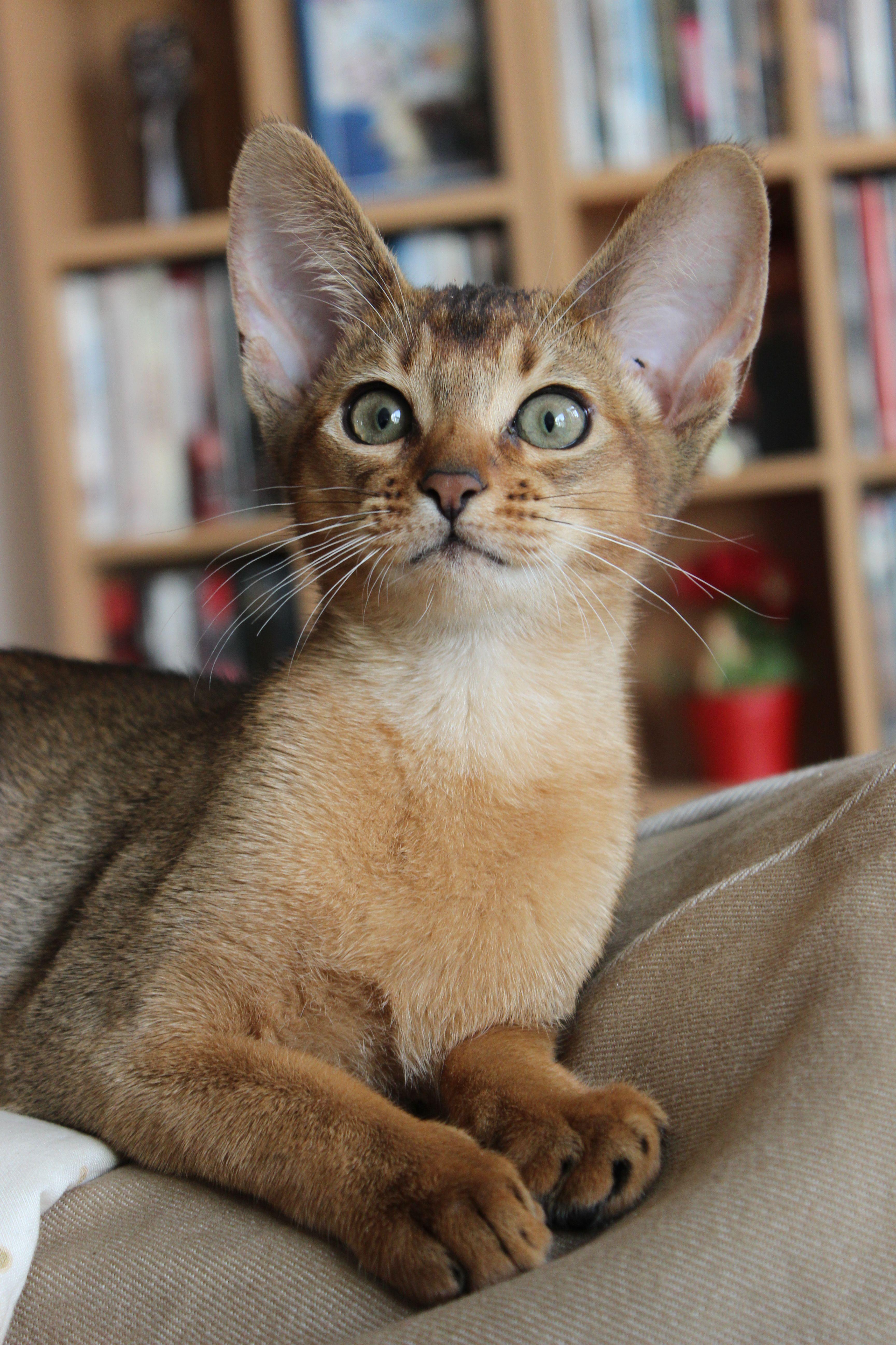 Wildkleur Abessijn / Ruddy Abyssinian | kitties | Pinterest ...