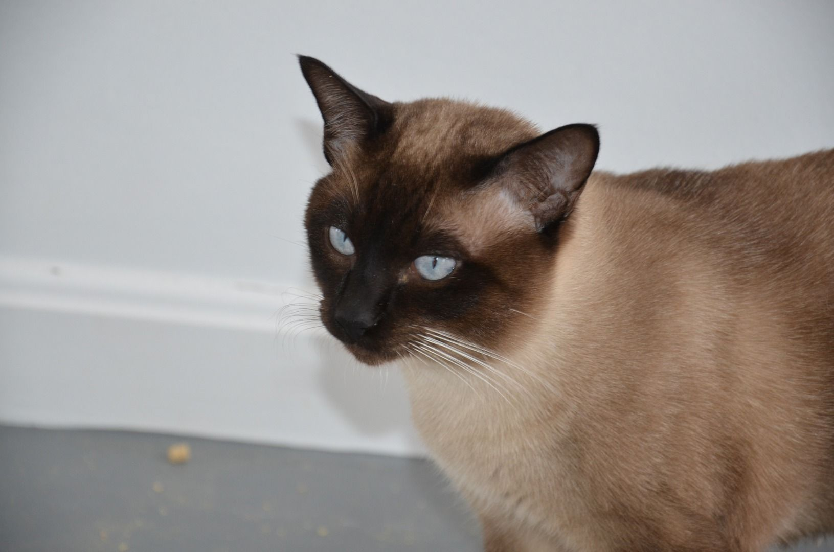 We Import Burmese Siamese And Tonkinese Cats From Thailand Thailand Is Home To An Incredible Race Of Cats With Distincti Tonkinese Cat Tonkinese Burmese Cat
