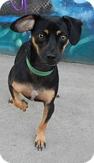 Seattle Wa Dachshund Manchester Terrier Mix Meet Hatie A Dog