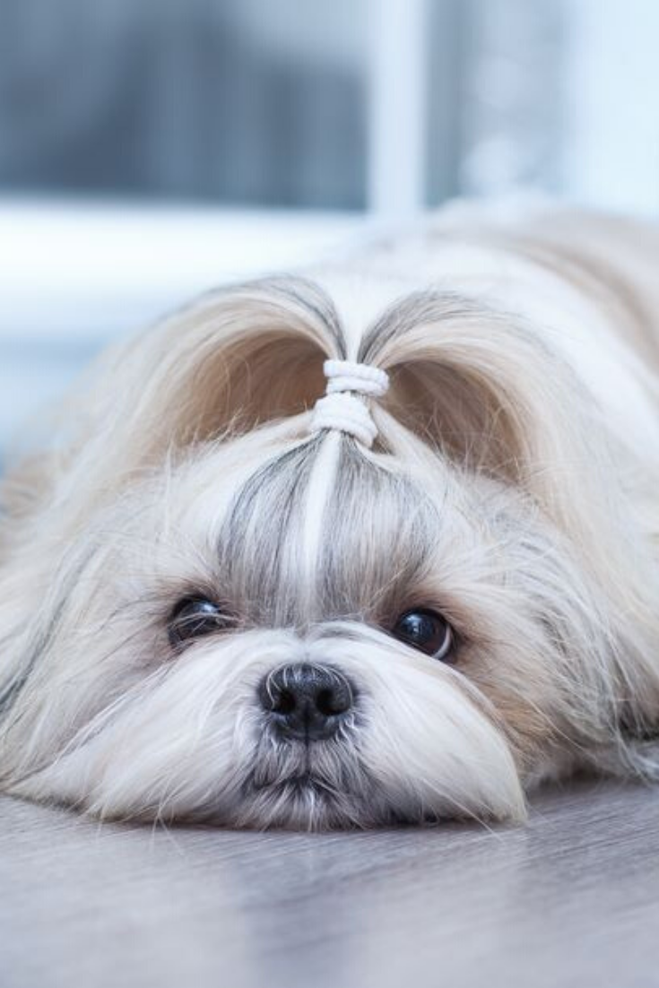 Shih Tzu Dog Lying In Home Interior Shihtzu Shih Tzu Dog Shih Tzu Dogs