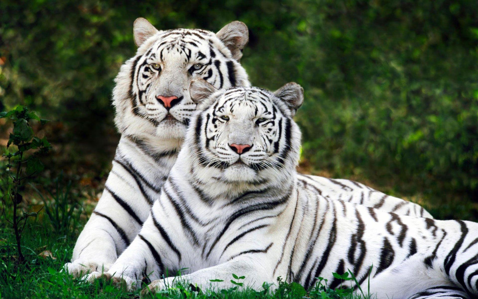 Couple Felins Herbes Poils Gris Repos Tigre Blanc Animaux Feroces Felin Sauvage Animaux Nature