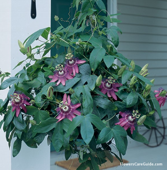 Pin By Connie Busch On Beautiful Weird House Plants In 2020 Passion Vine Passion Flower Plant Sale