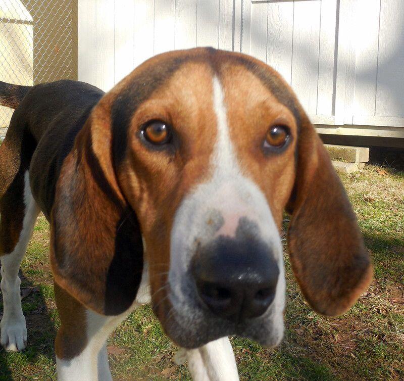 Adopt Billy Jack On Treeing Walker Coonhound Walker Hound