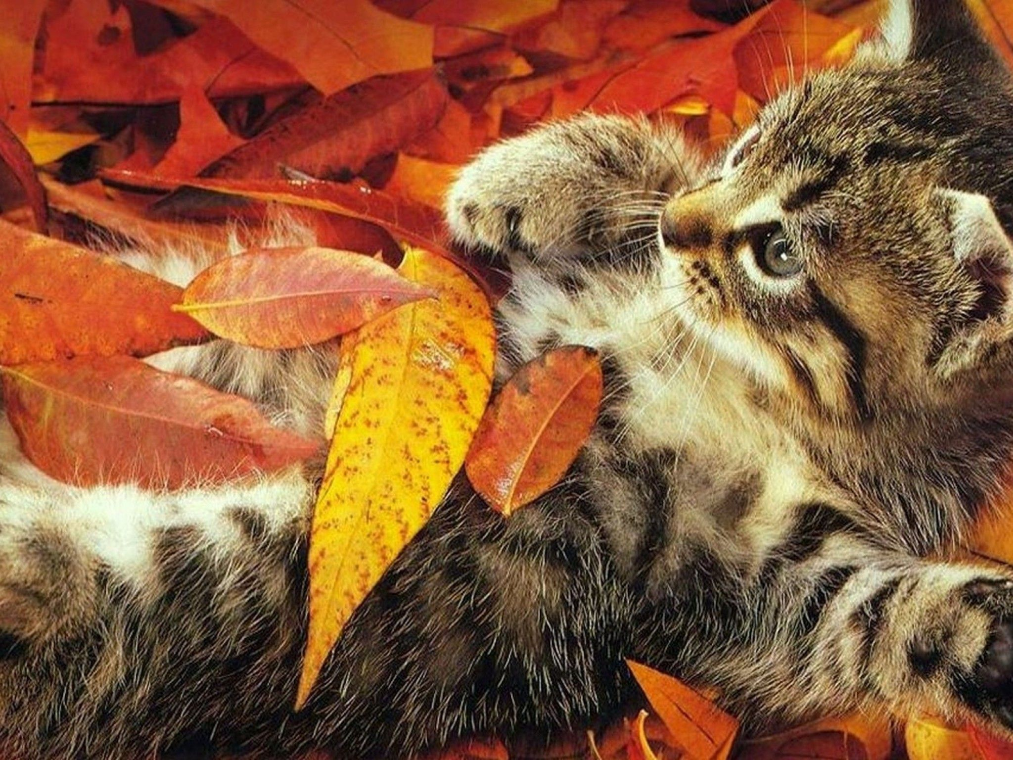 Autumn Cat Wallpaper Kitten Leaves Playful Wallpapers Mag Autumn Animals Cats And Kittens Cats