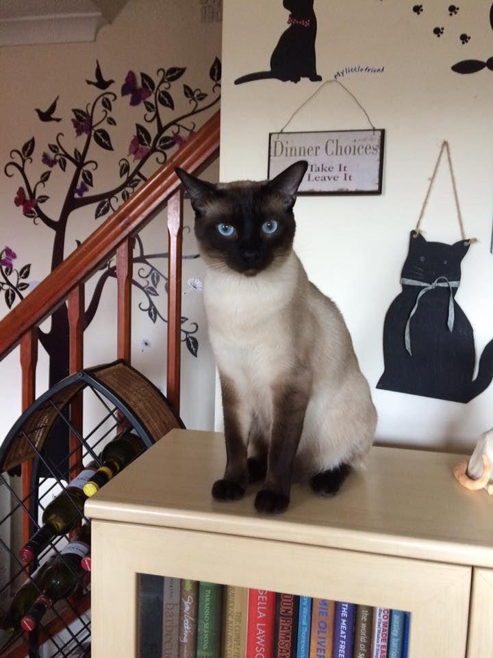 Burmese cat watery eyes