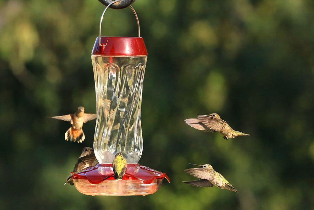 7 Tips on How to Attract Hummingbirds Everything Birds