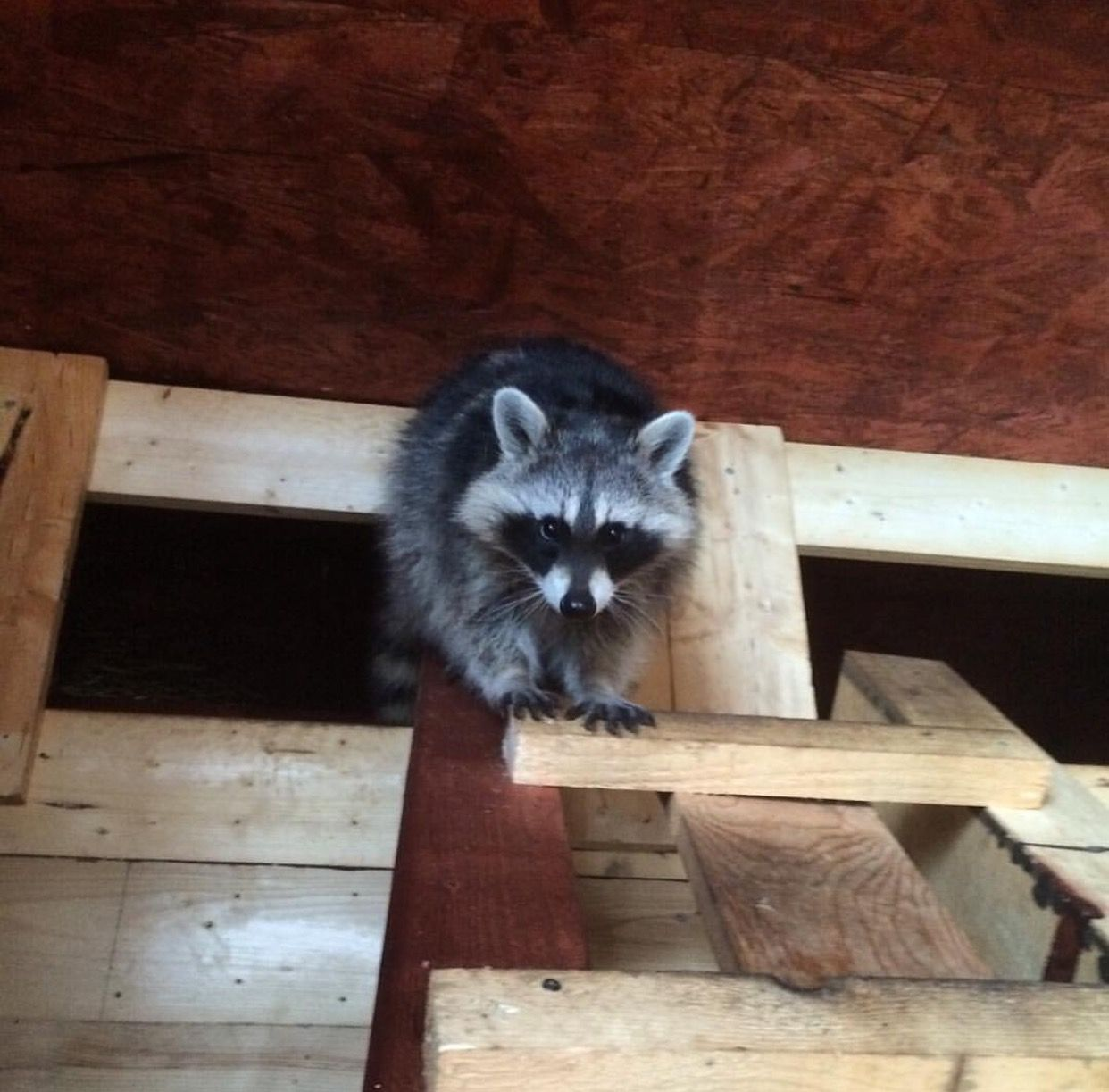 How To Get Rid Of Raccoons In The Attic Getting Rid Of Raccoons Raccoon Raccoon Removal